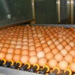 Dezinfekcija priplodnih jaja
