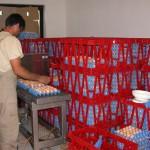 Pakovanje priplodnih jaja
