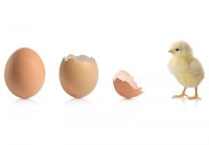 Priplodna jaja tovnih pilića