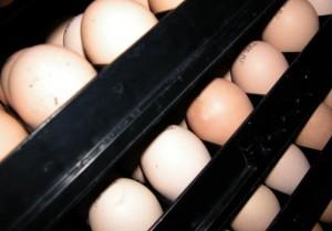 Priplodna jaja u inkubatorskoj stanici