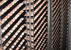 Priplodna jaja u inkubatoru